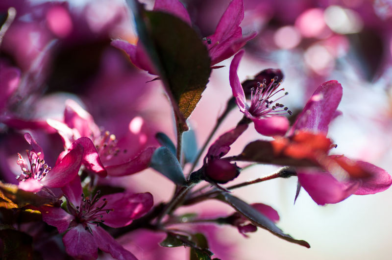 Malus Apple Blossoms Apple Beauty In Nature Blooming Blossom Bokehlicious Botany Close-up Day Flower In Bloom Leaves Leaves🌿 Malus Nature Outdoors Petal Pink Pink Color Plant Selective Focus Shadow Sunny Tree Twigs