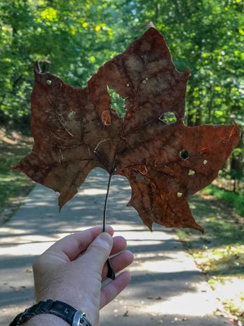 Fall is here! The big leaves are falling Human Hand One Person Hand Human Body Part Holding Personal Perspective Finger Day Human Finger Lifestyles Body Part Real People Leisure Activity Butterfly - Insect Focus On Foreground Nature Plant Sunlight