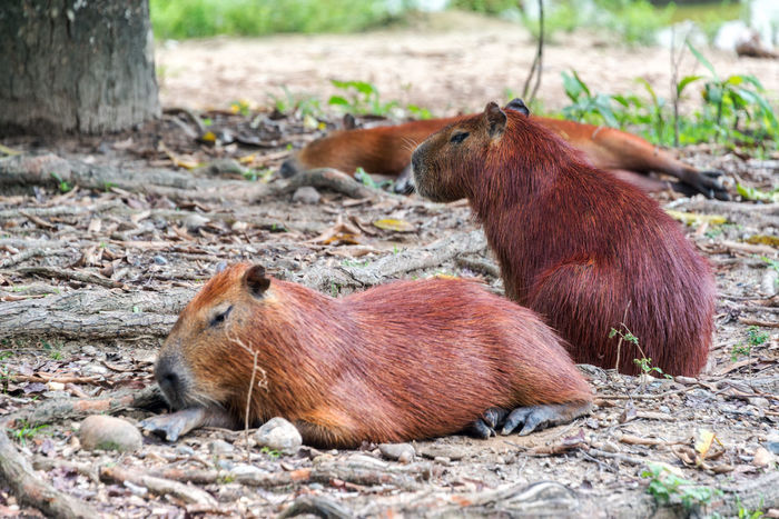 View of three Capybaras, the largest rodent in the world, in Colombia Animal BIG Capibara Capybara Day Eat Fauna Field Fresh Fur Grass Green Herbivore Hydrochoerus Hydrochaeris Largest Mammal Nature Outdoors Pasture Rodent Rodentia South Wild Wildlife Zoo