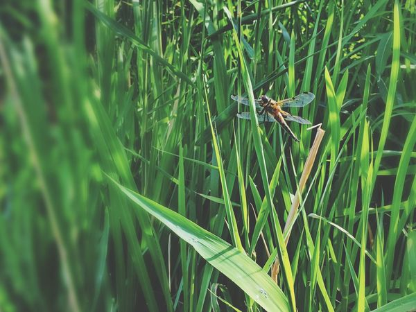 Dragonfly💛 Dragonfly Plant Green Color Growth No People Nature Day Grass
