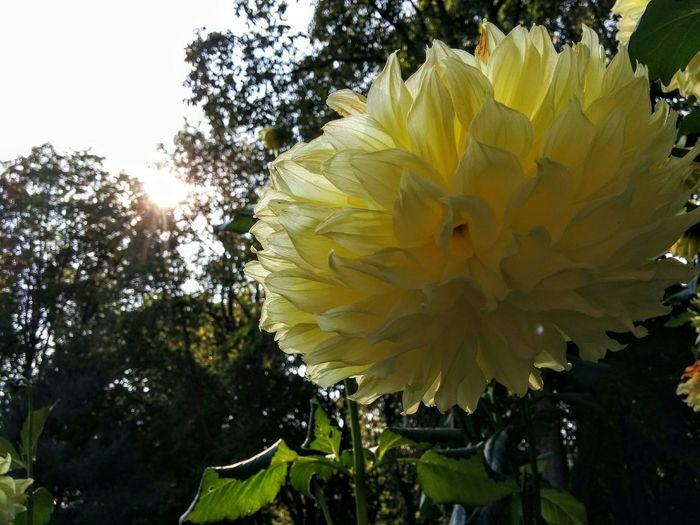 Giant dahlia in Theresa's garden.