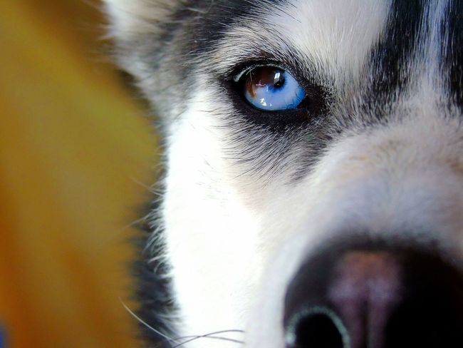 Looking At Camera Dog Eye Pets Eyeemphotography Eye Eyes<3 Dog❤ No People Love Dogs Of EyeEm One Animal Domestic Animals Mammal
