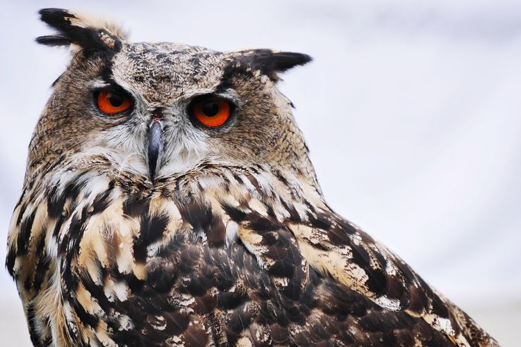 Close-Up Portrait Of Eagle Owl Against Sky