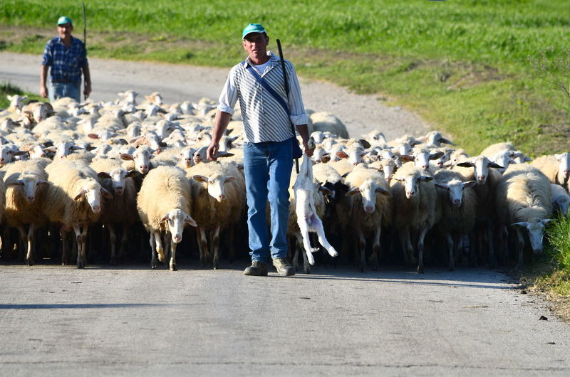 Full Length Of Shepherd With Flock Of Sheep On Road