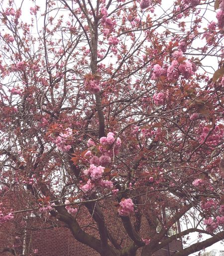 Millennial Pink Tree Flower Growth Pink Color Nature Low Angle View Springtime Fragility Freshness Blossom Branch No People Outdoors Sky Day Close-up