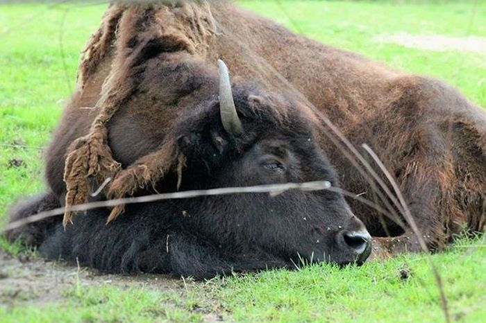 Bison at DC Zoo in July Bison Animal Animalphotography Beauty StillLife Photography Zoo