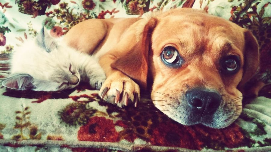 puppy and kitty Cat Puppy Pets Cat And Dog Puppy And Kitty Love Animal Pet Love Portrait Beagle Close-up