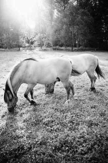 Animal Themes Beautiful Horses Black And White Horses Black And White Photography Domestic Animals Grass Grazing Horses Horse Horses Horses B&w Horses In Black And White Outdoors Sunshine And Horses