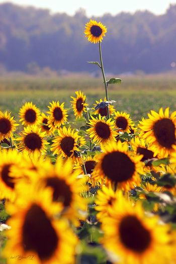 Close-up of sunflowers growing on land