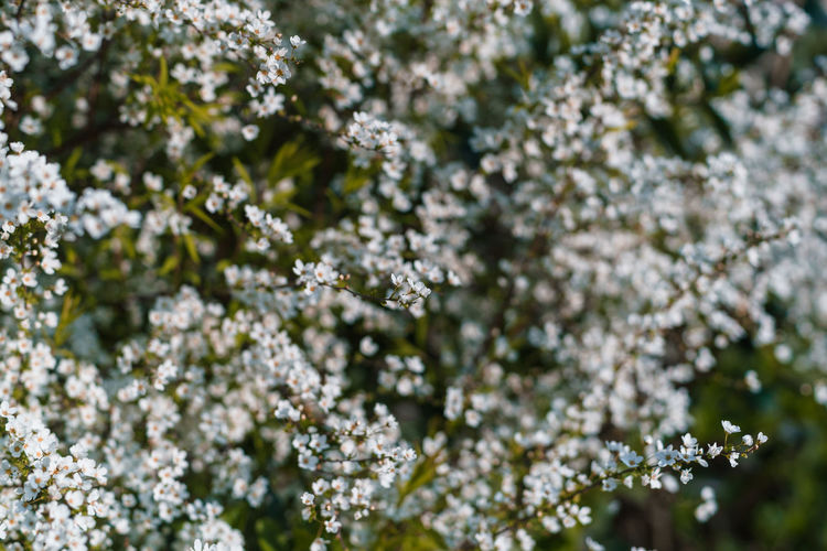 Flower Plant Freshness Flowering Plant Fragility Beauty In Nature Vulnerability  Growth Nature No People Day Close-up Tree White Color Focus On Foreground Springtime Blossom Outdoors Selective Focus Backgrounds Flower Head Cherry Blossom Cherry Tree