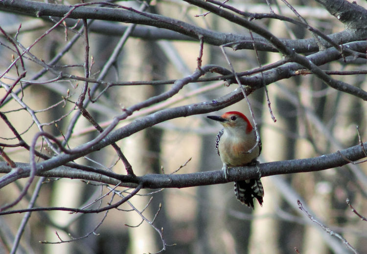 Red-bellied Woodpecker Bird Bird Photography Birds Branches Nature Outdoors Outside Pennsylvania Red Red-bellied Woodpecker Spring Woodpecker
