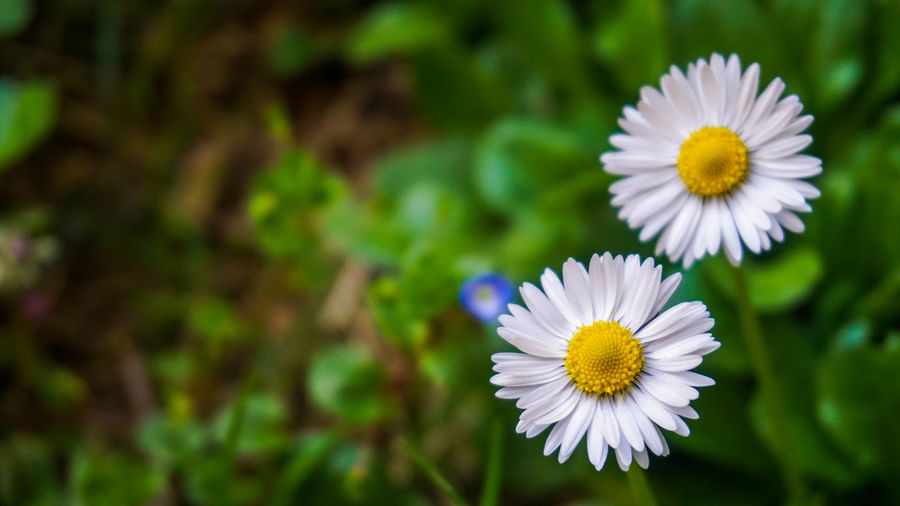 Flowering Plant Flower Freshness Vulnerability  Fragility Plant Petal Beauty In Nature Flower Head Growth Inflorescence Close-up Daisy Focus On Foreground Pollen Nature White Color Day Botany No People Outdoors Purple