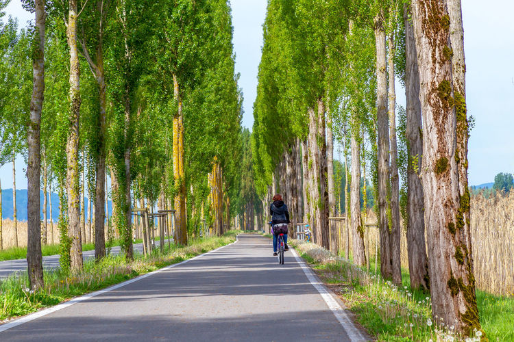 Transportation Road Plant Direction Nature Bicycle Activity Leisure Activity Motion Riding Outdoors Lifestyles Rear View Tree Alley Island Reichenau Way Tourism Travel Lake Constance Bodensee Poplar Cycling Driving