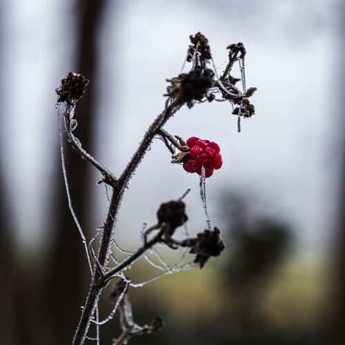 First signs of winter Frozen Dewdrops Beauty In Nature Blackberry Branch Close-up Day Flower Focus On Foreground Fragility Freshness Fruit Growth Nature No People Outdoors Plant Red Rose Hip Spiderweb In Morning Dew Tree Winter Wonderland