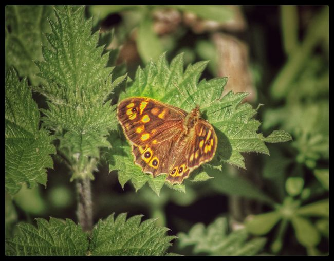 Butterfly Butterfly On Nettles Stinging Nettles Nettles Butterfly Collection Butterflies And Moths Nature On Your Doorstep Nature Nature_collection Natures Magic EyeEm Nature Lover EyeEm Best Shots EyeEm Best Shots - Nature Springtime EyeEm Gallery Our Best Pics The Great Outdoors - 2016 EyeEm Awards Natures Diversities