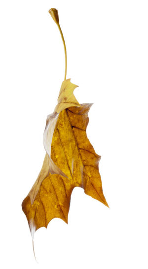 Autumn leaves isolated against a white background. Autumn Collection Autumn Colors Autumn Leaves Fall Colors Nature Autumn Close-up Cut Out Cut Out On White Dry Fall Leaves Isolated On White Leaf Leaves Leaves_collection Nature Nature_collection Studio Shot White Background White Backround Yellow