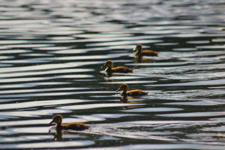Side view of birds in rippled water
