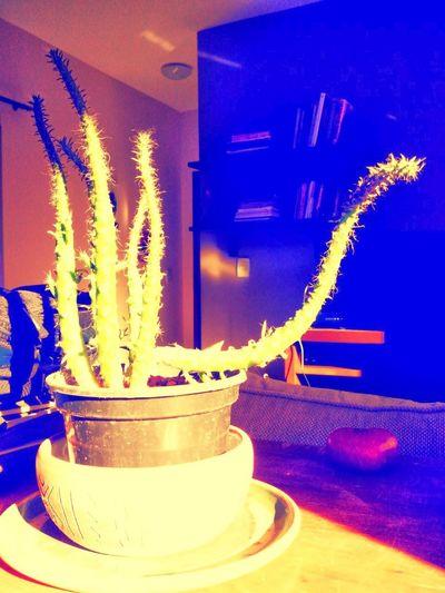 Cactus tortus