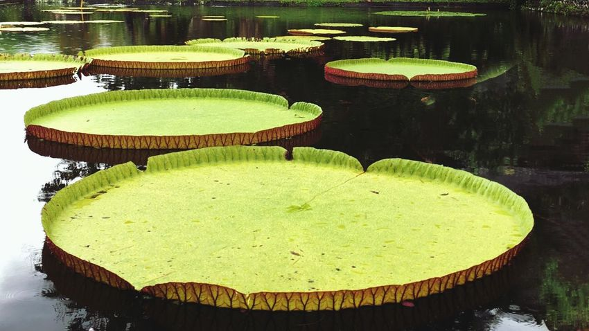 Giant Lillie pads Water Pond Water Lily Floating On Water Lily Pad Floating Lotus Water Lily Leaf Green Color Reflection Outdoors Freshness Bali, Indonesia Tropical Climate Green Color