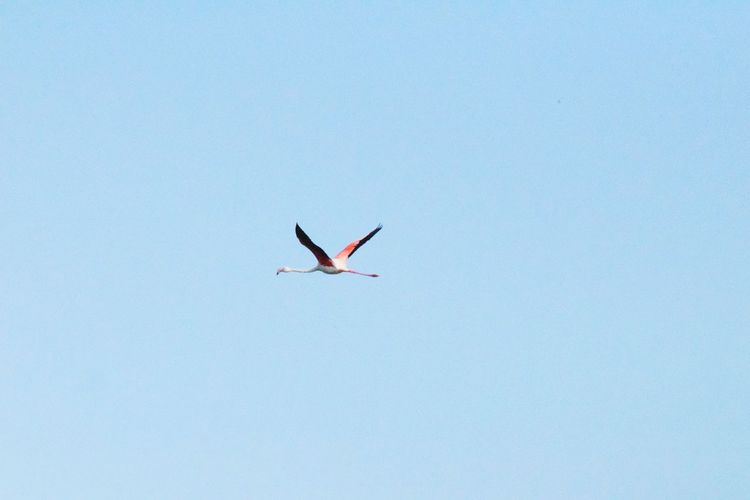 Pink flamingo Flying Animal Wildlife Animals In The Wild Bird Mid-air One Animal Blue Sky Outdoors Day Nature Spread Wings Flamingo Happiness Diversity Beauty Tranquil Scene Love EyeEm Selects Close-up Tourism Sea Scenics Low Angle View No People