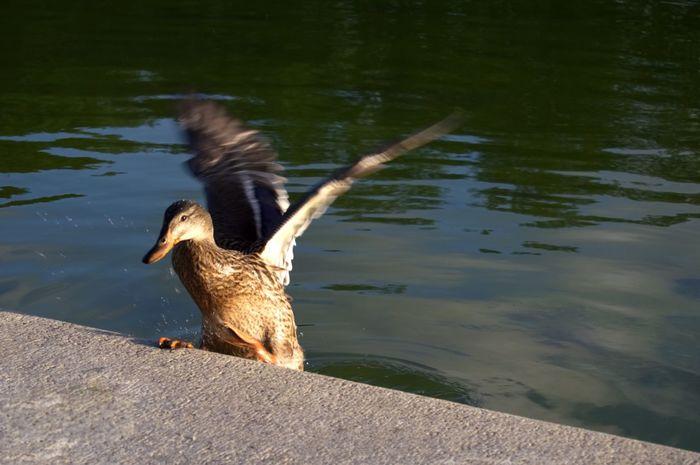 EyeEm Selects Bird Water Duck Spread Wings