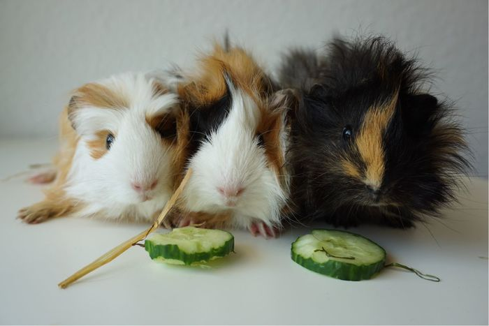 Guinea Pig Pets Eating Baby Guineapig Pet Portraits