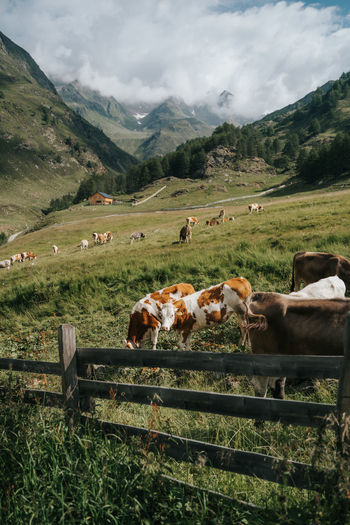 Herd of cows grazing on field surrounded by the dolomite mountains