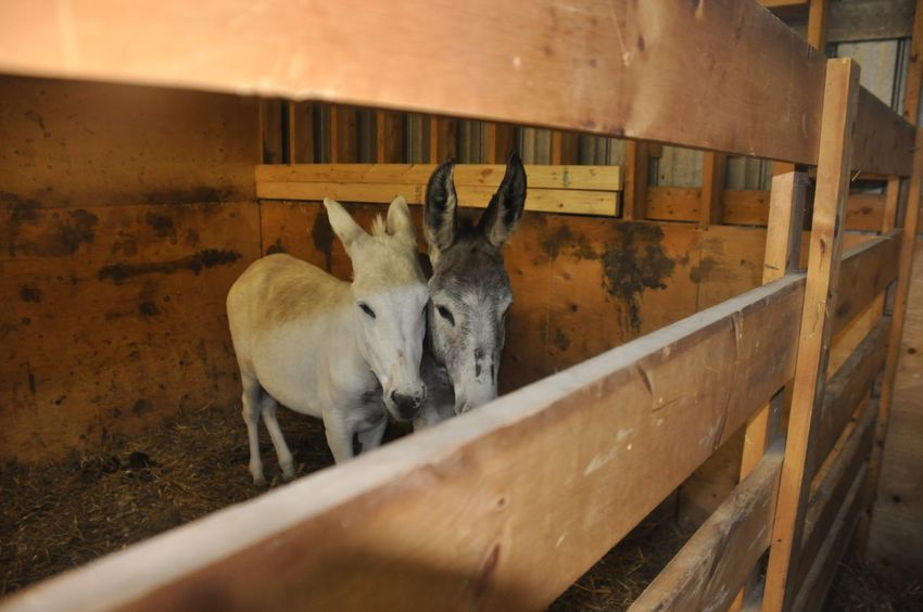 Twins Double Trouble Animal Themes Mammal Two Animals Indoors  Domestic Animals No People Young Animal Livestock Day Nature Agriculture Donkey Farm Farm Animals Farming