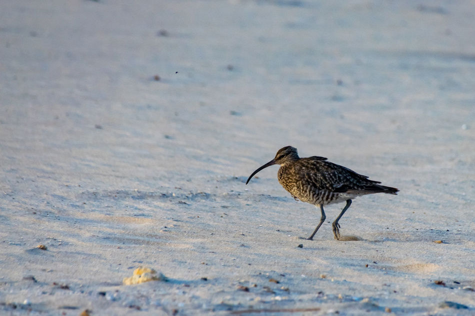 Eurasian curlew on sand beach in Boa Vista, Cape Verde Animal Themes Animal Wildlife Animals In The Wild Bird Close-up Curlew Day Eurasian Eurasian Curlew Nature No People One Animal Outdoors Perching Water