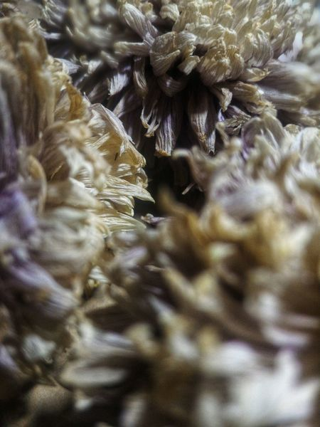 Flower Flower Head Herbarium Dry Flower  Dry Backgrounds Full Frame Christmas Close-up No People Nature Underwater