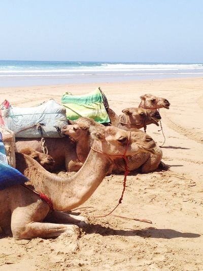Camels at Paradise Beach, Morocco.