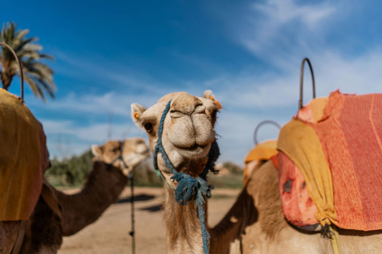 Marrakesh Marrakech Morocco Travel Destinations Tourist Destination Travel Photography Travel Mammal Camel Domestic Animals Animal Themes Pets Animal Working Animal Livestock No People Animal Head  Herbivorous Domestic Desert Outdoors Arid Climate Animal Neck Focus On Foreground Land