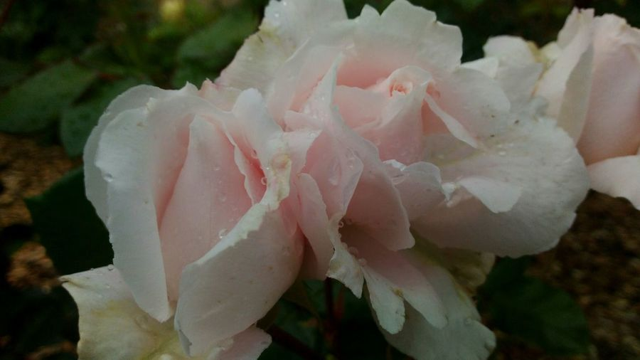 roses Delicate Flowers Pink Color Pincflower нежные цветы розовыерозы розовый цветок розы Flower Head Flower Peony  Beauty Rose - Flower Petal Close-up Plant