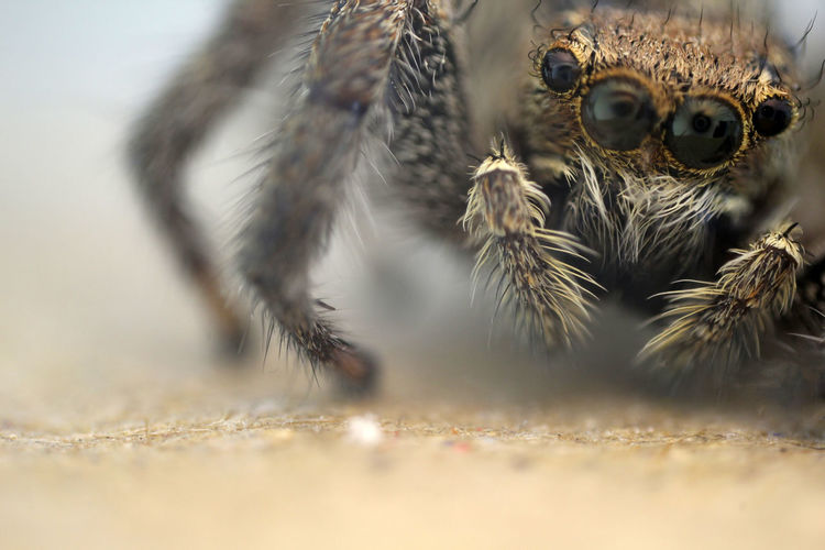 | Jumping Spider 4x | Spider Jumping Spider Close-up Beetle Animal Eye