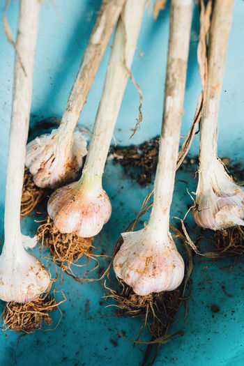 Container Freshness Garlic Close-up Focus On Foreground Garlic Bulb Healthy Eating High Angle View Raw Food Soil Vegetable