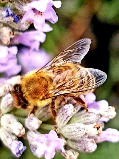 Honey Bee on