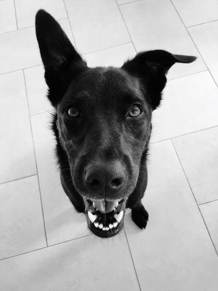 Birichino Dog Blackandwhite Black Black & White Cute Troublemaker Caymanian Home Lugano