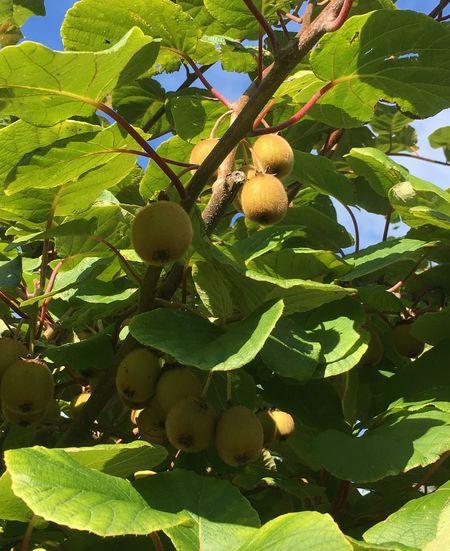 Hanging Fruit Morning Sunshine English Garden Fruit Tree Kiwi - Fruit Nature Northumberland Sunlight And Shadow