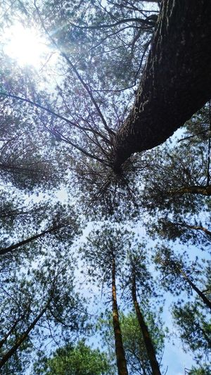Lay down and relax. The world is always beautiful. Pine Trees Pineforest Bluesky Mountains And Sky