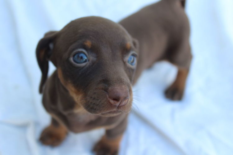 Blue eyes Capture Tomorrow Pets Retriever Beagle Portrait Dog Puppy Looking At Camera Young Animal Cute Close-up Fawn Dachshund Canine My Best Photo
