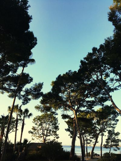 Costa de los Pinos Island Spanish SPAIN Mallorca Coast Pine Tree Pine Trees Against The Sky Sky Tree Plant Silhouette Nature Low Angle View Clear Sky Tranquility No People Beauty In Nature Tranquil Scene Day Scenics - Nature Sunlight Branch