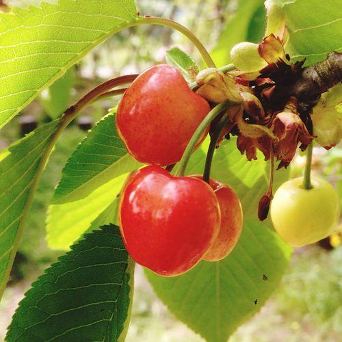 Cherry Garden