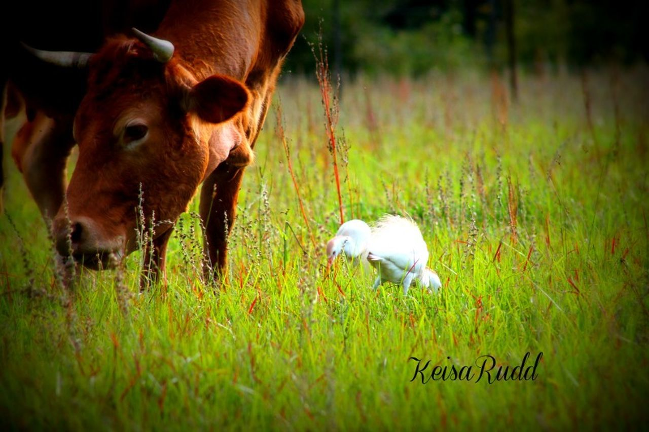 grass, cow, cattle, domestic animals, animal themes, livestock, mammal, field, nature, no people, outdoors, day, close-up