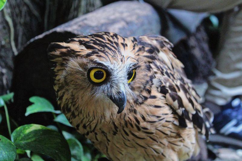 An owl walking