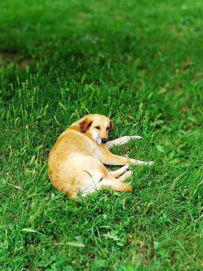 Portrait 2xzoom Pets Dog Lying Down Relaxation High Angle View Field Grass Green Color