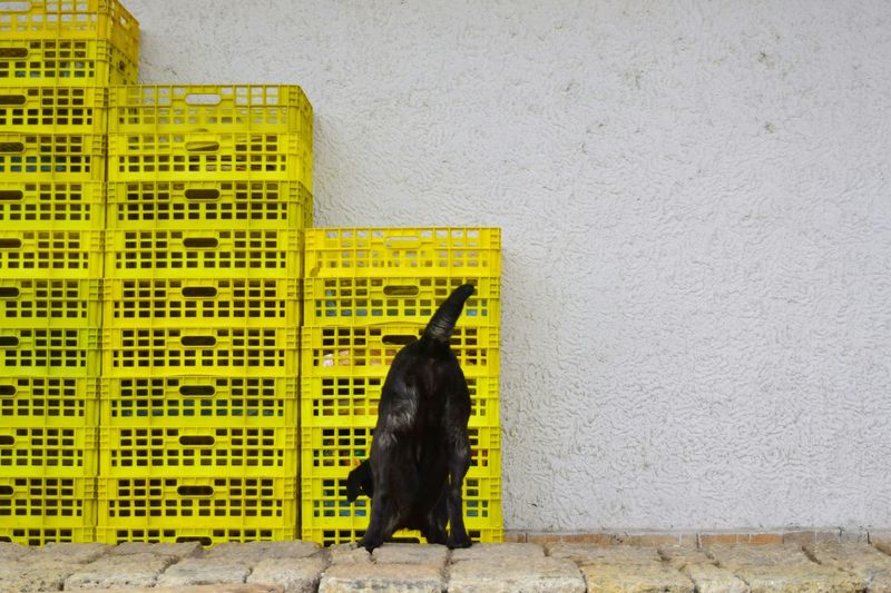 Dog standing against yellow wall