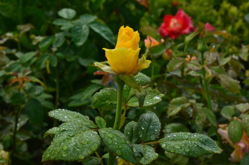 Beauty In Nature Close-up Flower Freshness Green Color Growth Leaf Nature No People Outdoors Petal Rosé Yellow Yellow Rose