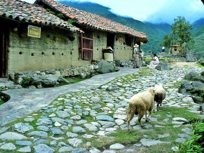 Sheep Standing Outside Houses