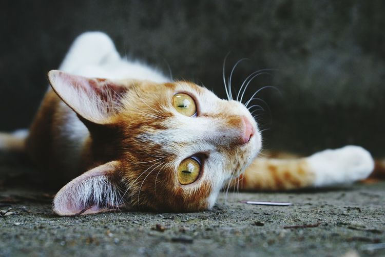 Portrait of cat lying on footpath