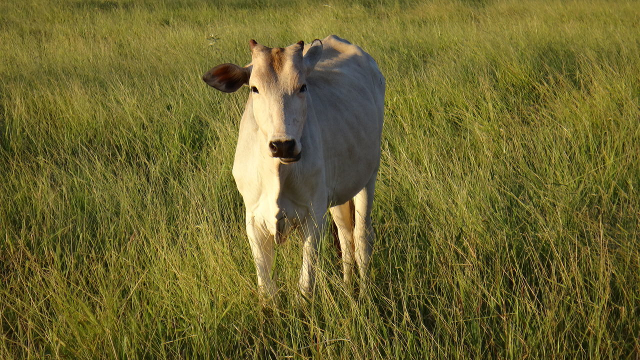 grass, livestock, field, domestic animals, animal themes, cow, mammal, one animal, nature, standing, outdoors, agriculture, no people, day